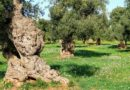 Obszar monumentalnych drzew oliwnych – Apulia